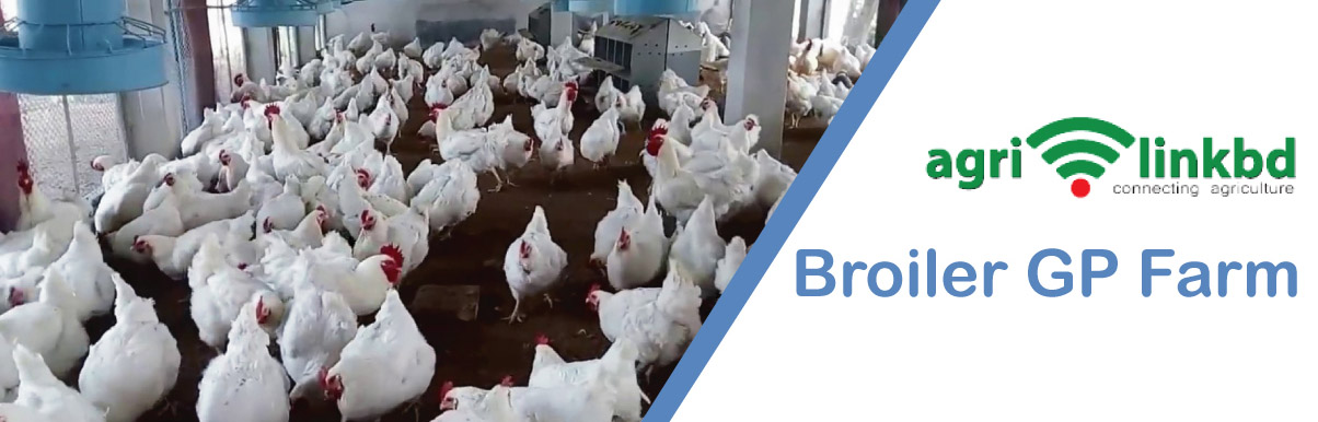 Broiler GP Farm
