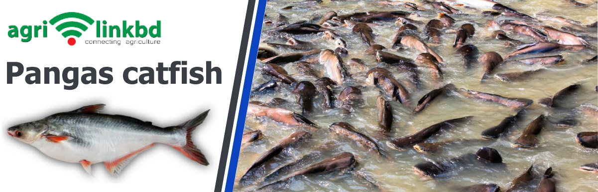 Pangas catfish